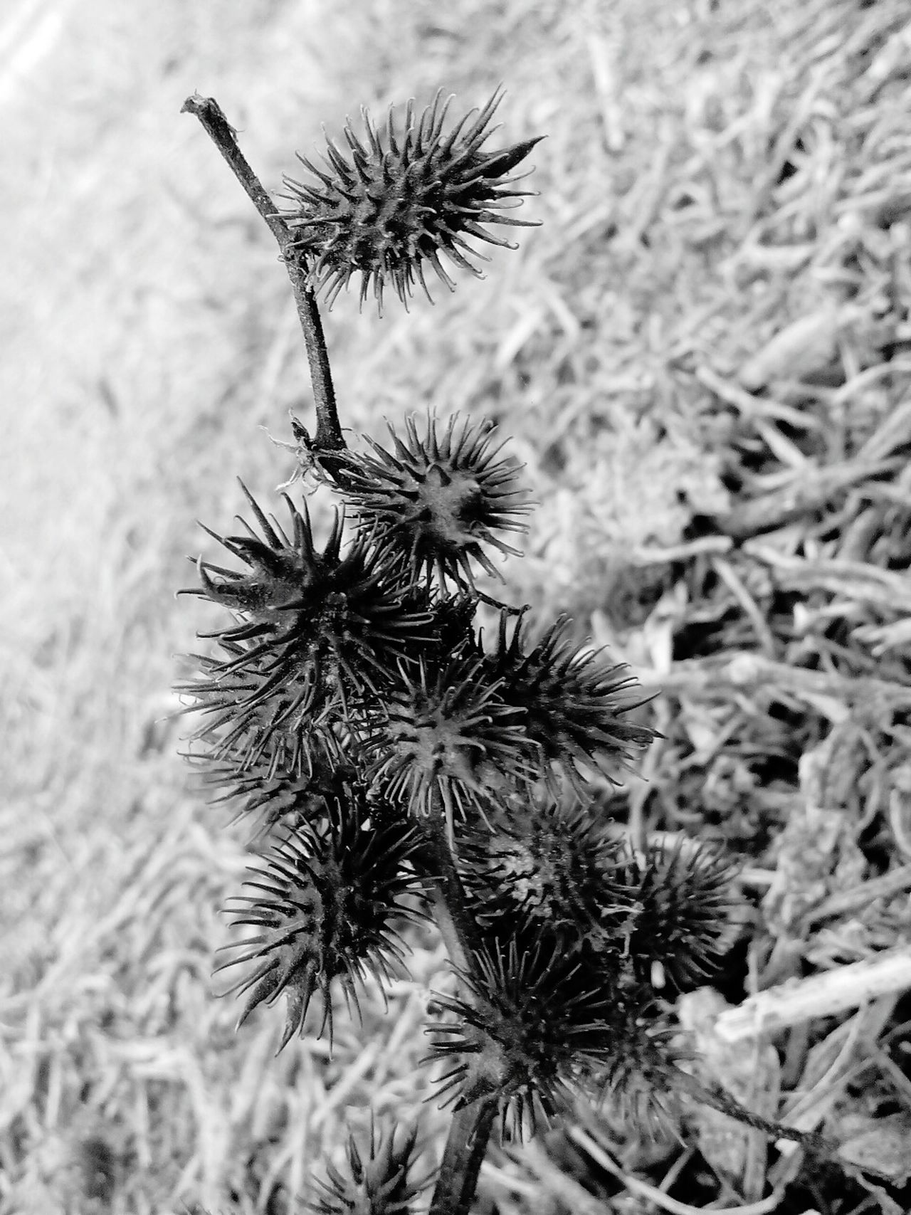 Thistle Spiked Nature Close-up Thorn Outdoors Dried Plant Sea Urchin Beauty In Nature Spiky No People Wilted Plant Freshness Day Low Angle View Place Of Worship Freshness Animal Wildlife Butterfly - Insect Pattern Cloud - Sky Built Structure Beauty In Nature Animals In The Wild High Angle View