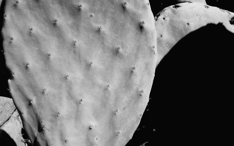Minimal Growing Cactus Cactus Leaf Black And White Close Up Nature