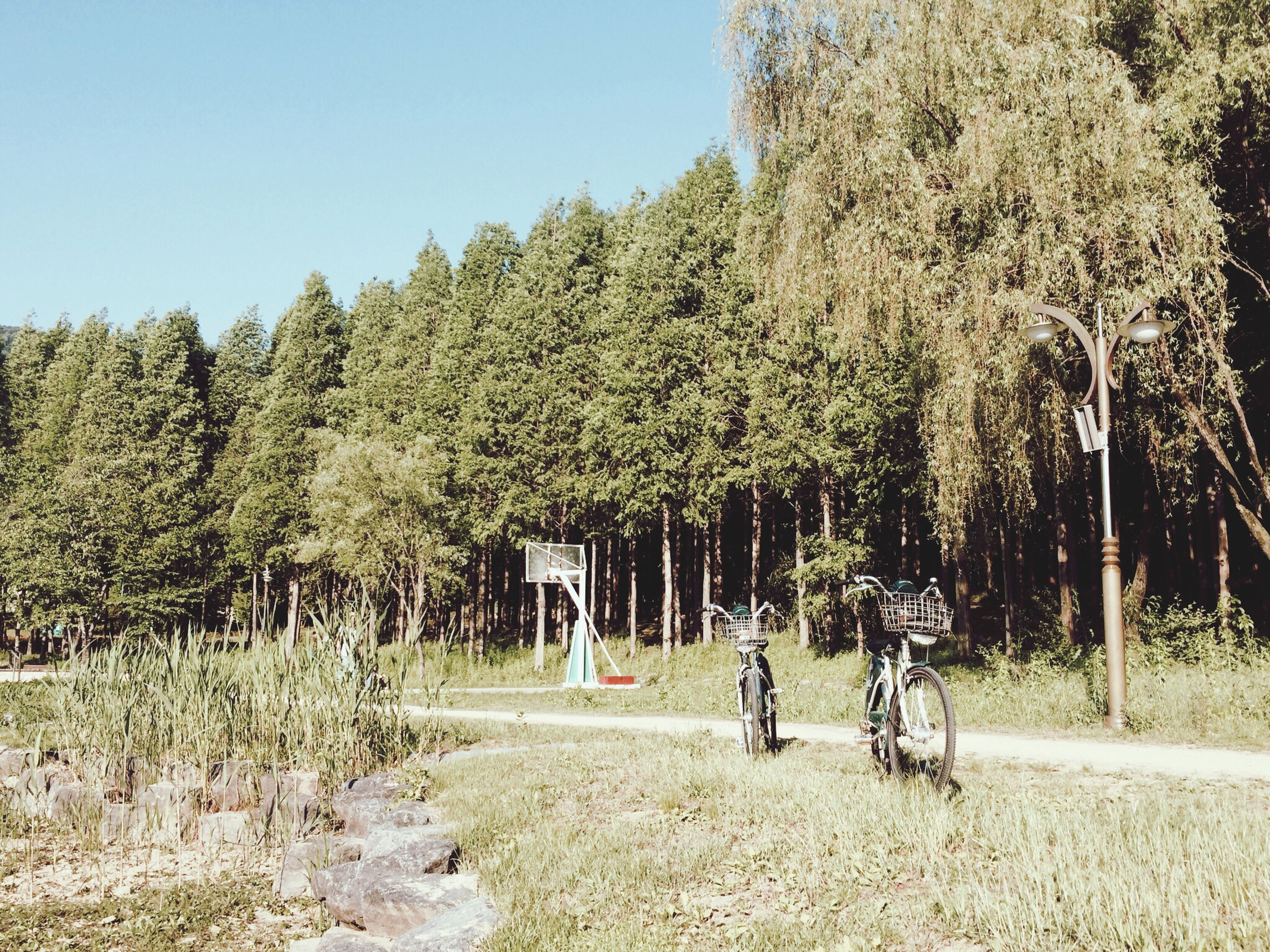 tree, bicycle, transportation, clear sky, mode of transport, land vehicle, growth, nature, men, day, leisure activity, landscape, field, road, lifestyles, outdoors, full length, sunlight, sky