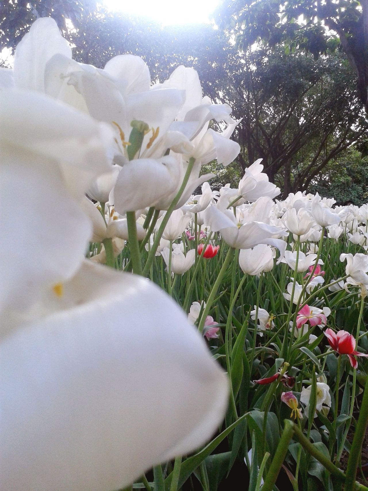 Flower Plant Nature Growth White Color Freshness Petal Fragility No People Beauty In Nature Flower Head Blossom Day Close-up Outdoors