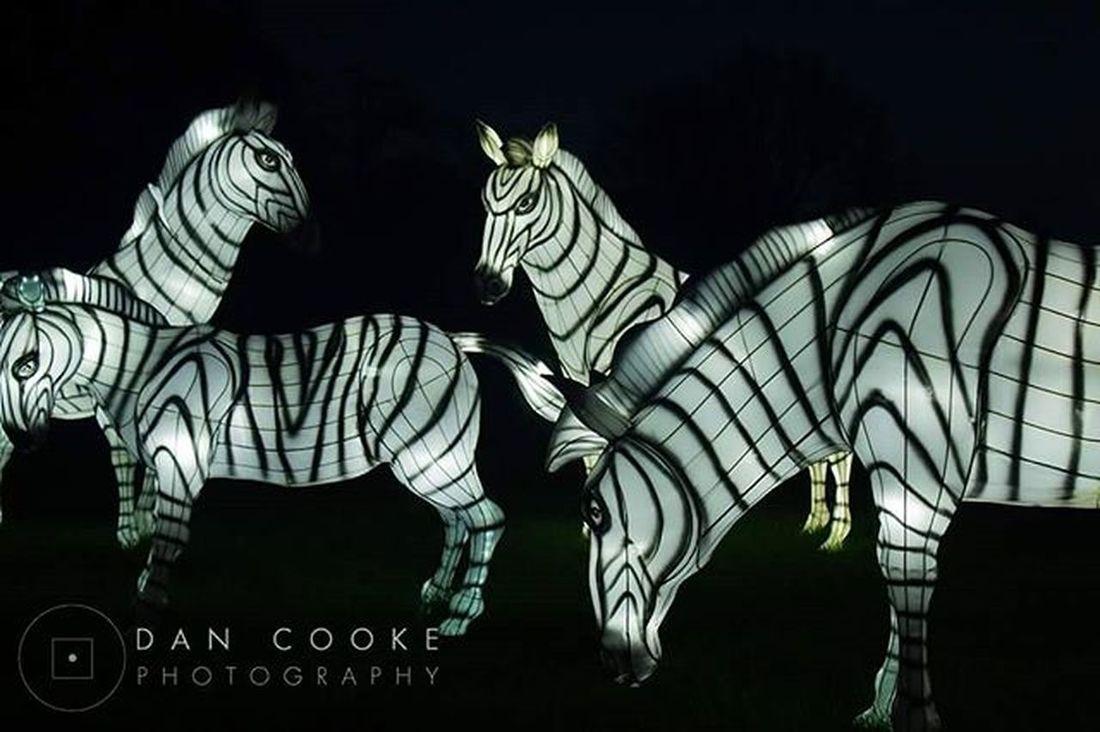 Zebra Illuminations Longleatsafaripark Festivaloflight Chinese Lantern Zebra @longleatofficial
