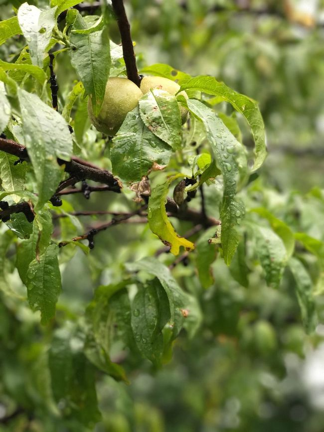 Peaches, depth effect, IPhone First Eyeem Photo Peaches Farming Peach Tree Rainy Day Raining Food Source Organic Chemical Free