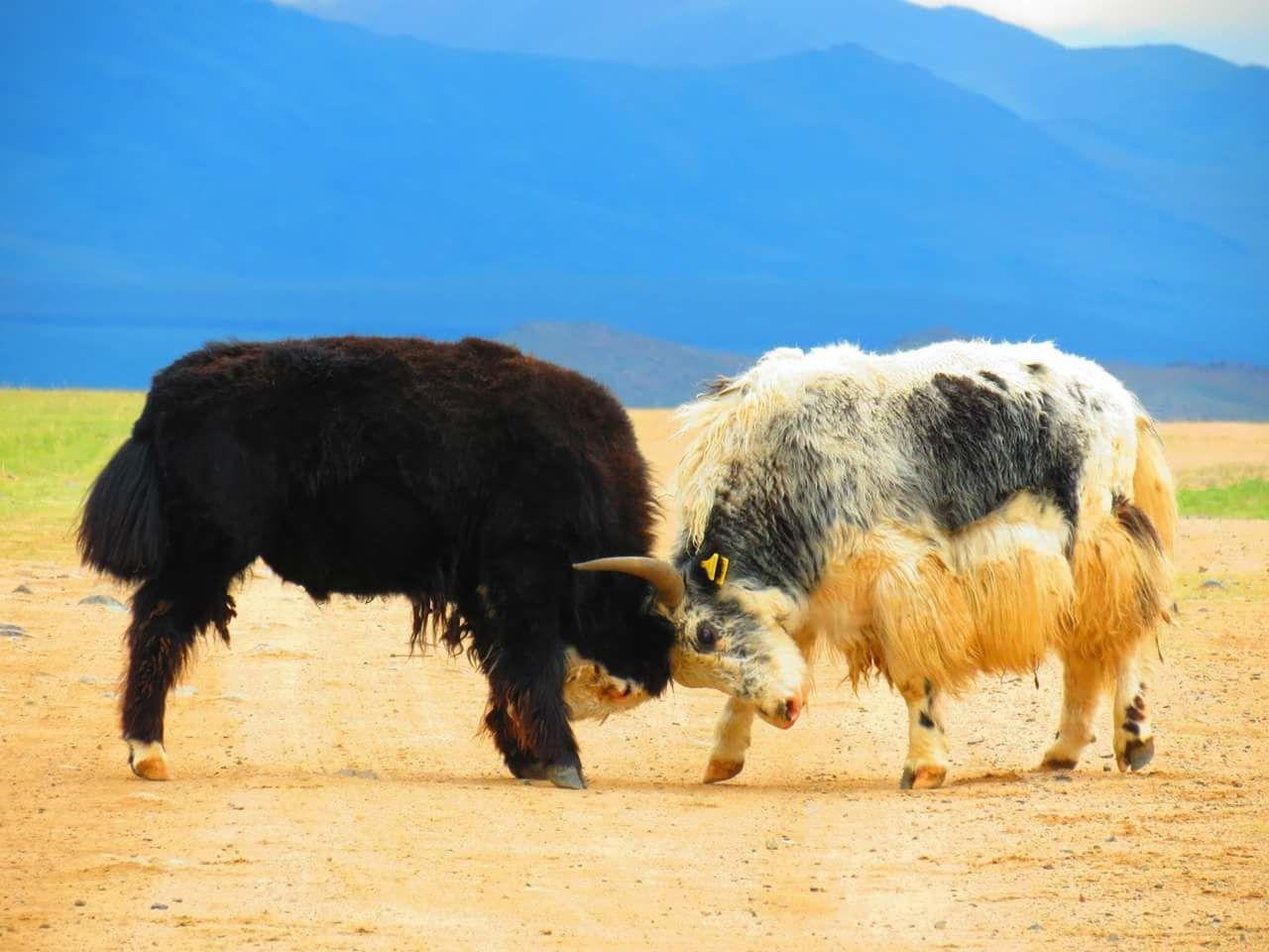 Yaks Fighting On Field