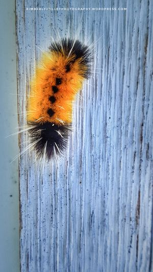 A Spotted Tussock Moth Caterpillar. Close-up Nature Outdoors Bug Insect Moth KimberlyJTilley Blackandorange