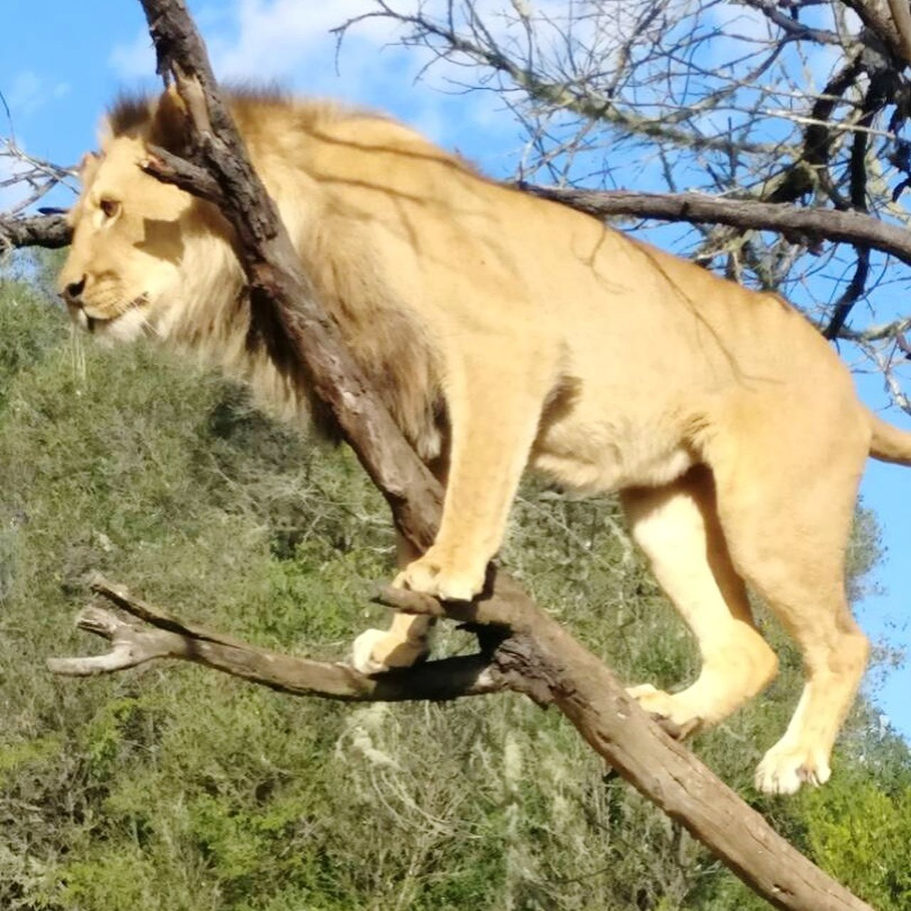 One Animal Animal Themes Mammal Day Domestic Animals No People Full Length Outdoors Tree Nature Sky Outdoor Photography Lion Lion King  Lion King  Lions Travel Destinations EyeEmNewHere Lioness Nature Animal Wildlife Animals In The Wild