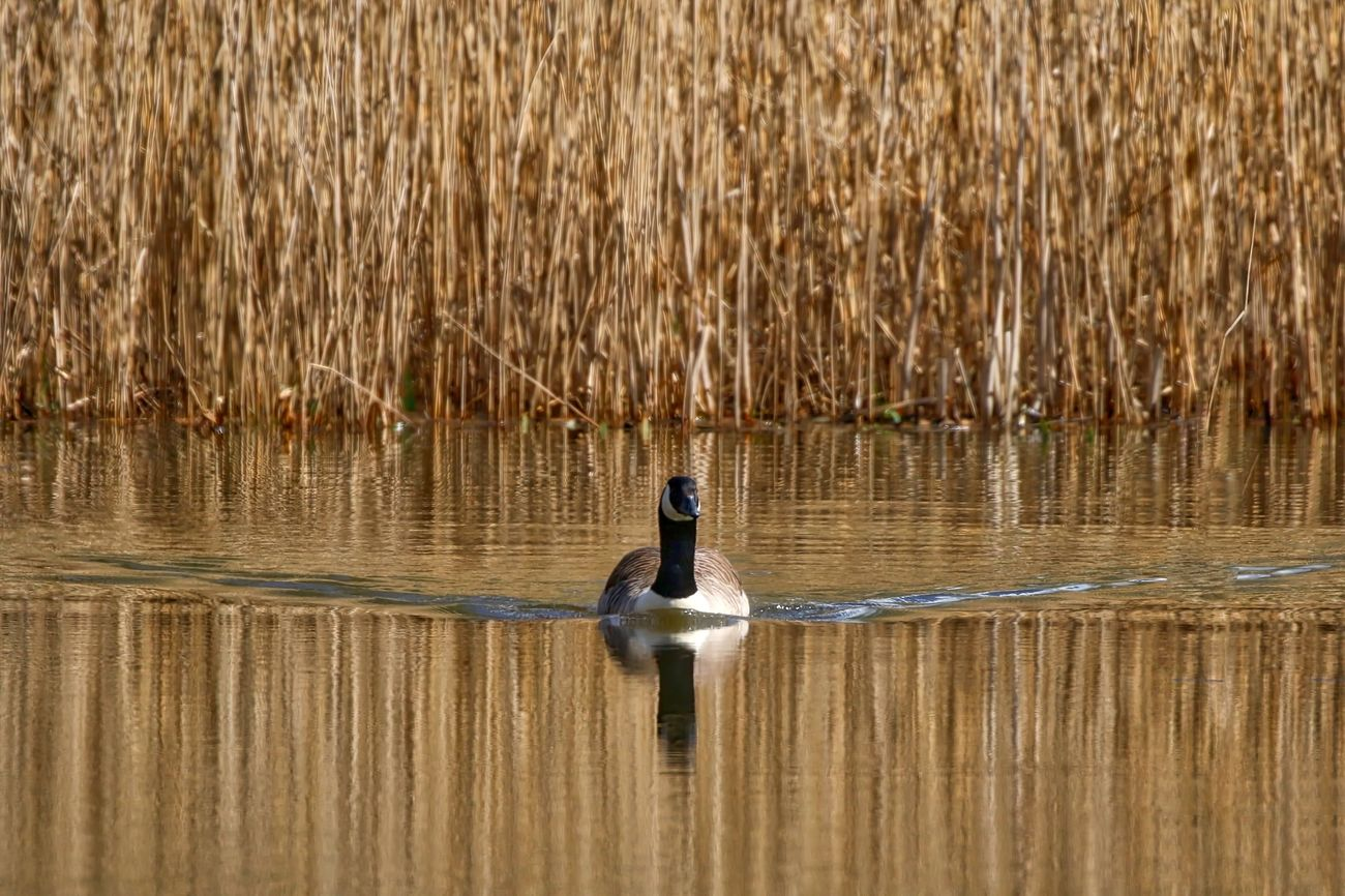 Beautiful stock photos of duck, One Animal, day, tranquility