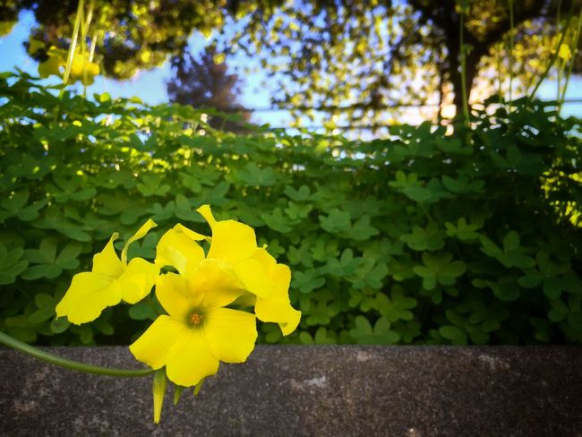 Weeds Weeds Are Beautiful Too Oxalis Oxalis Pes-caprae Yellow Flowers Winter Blooms Vignette