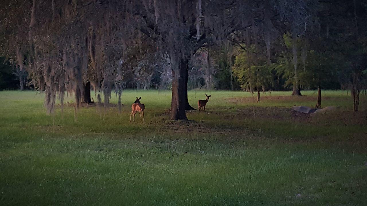 43 Golden Moments White Tailed Deer Deer Deersighting Evening Sun Evening Walk Evening Glow Nature Photography Nature Beauty Evening Sunset Showcase July
