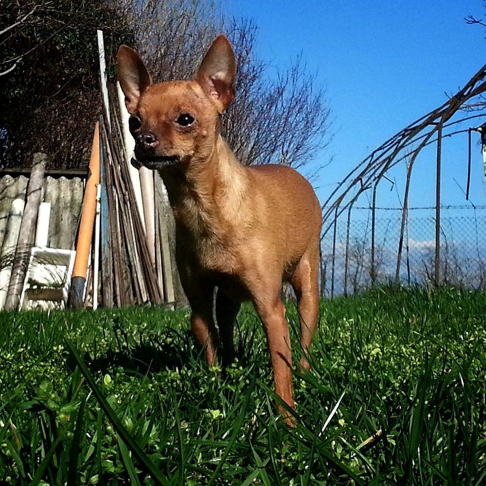 First Eyeem Photo Cute Pets Chihuahua Relaxing