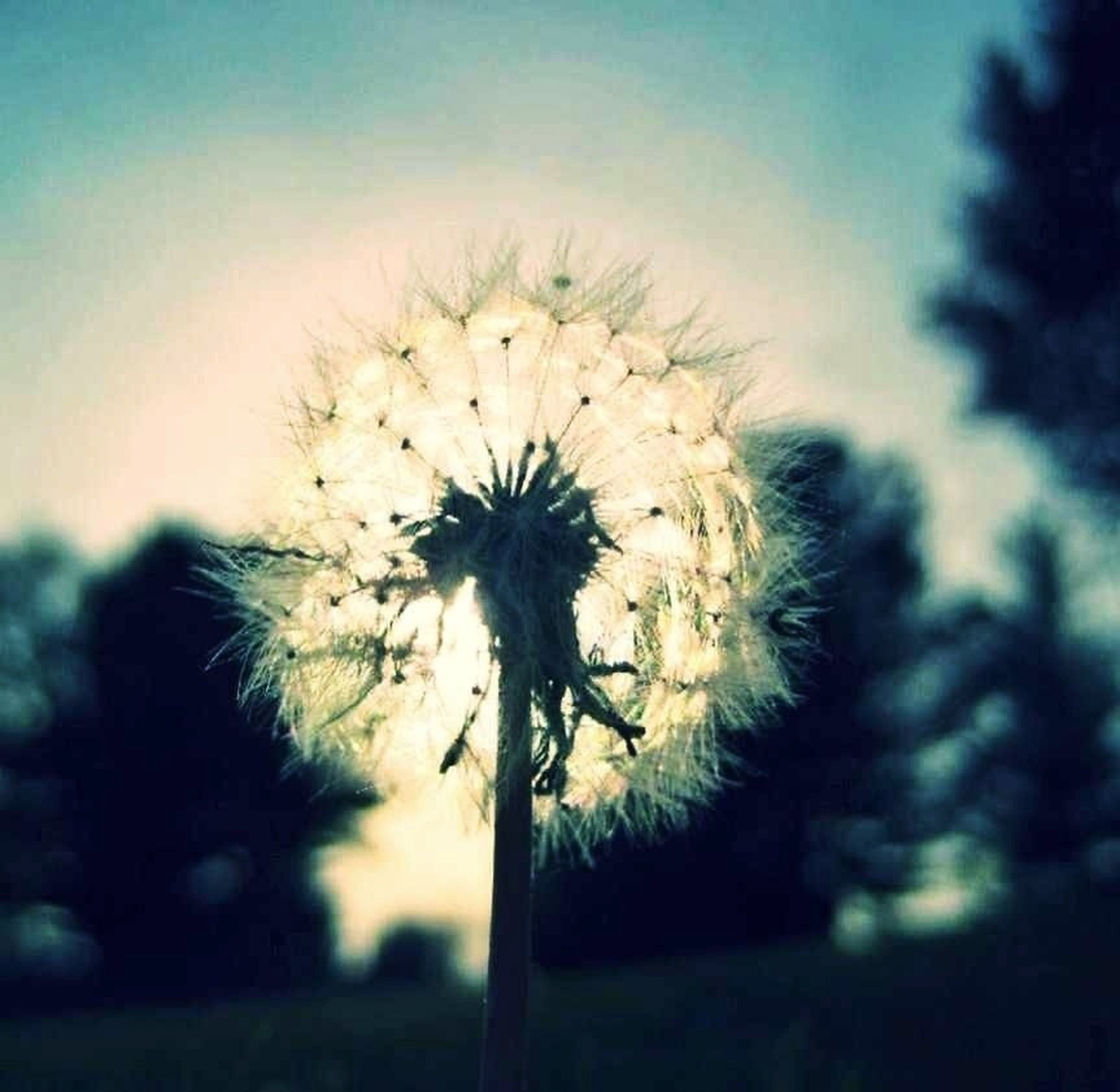 flower, dandelion, growth, fragility, freshness, flower head, focus on foreground, nature, beauty in nature, close-up, stem, plant, sky, single flower, wildflower, softness, selective focus, uncultivated, field, outdoors