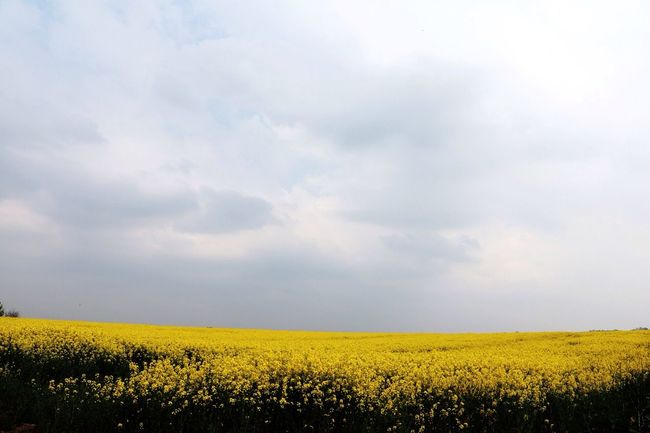 Yellowfield Hazy  Hazy Days Fieldscape Cloud Warm Day Hanging Out Taking Photos Hi! Check This Out Eye4photography  May2016 Relaxing Showcase: May Natural Vibrant Sunday Have A Nice Day! Yellowness
