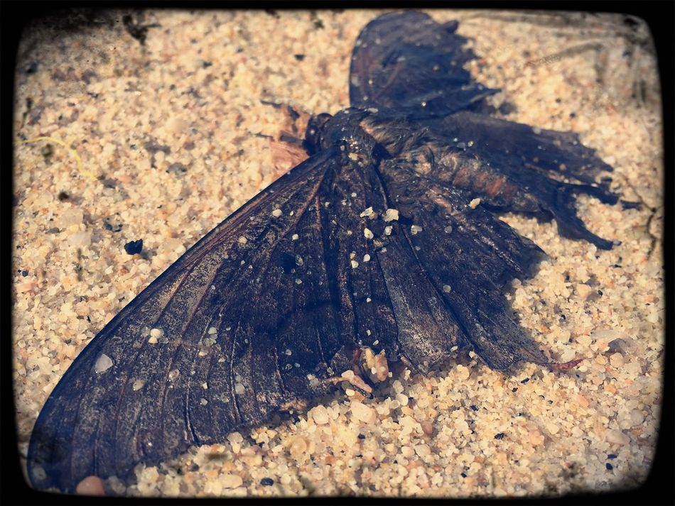 Moth at sea Wildlife Outdoors Close-up Insect One Animal High Angle View Nature Los Cabos Eyeemphotography Eyem Best Shots IPhoneography Beachlife EyeEmBestPics Mexico Beachphotography Outside Photography Beach