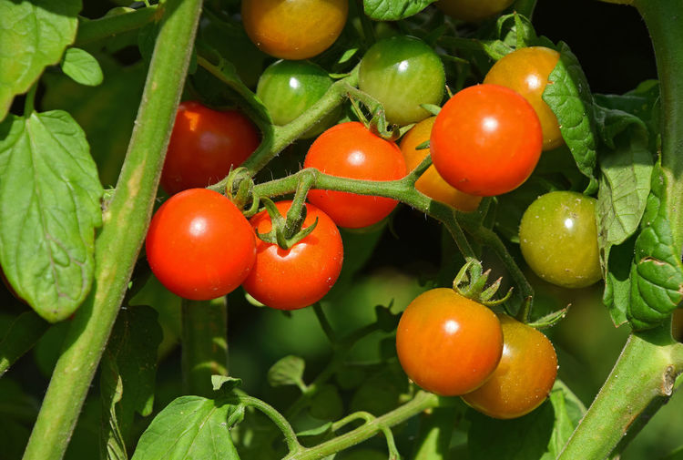 Growing fresh red cherry tomatoes close up Agriculture Agriculture Photography Chery Close-up Day Eco Farm Food Food And Drink Freshness Green Color Growing Growing Plants Growth Healthy Eating Leaf Nature Outdoors Red Tomato Tomato Plant Tomatoes Tomatoes Up Close Vegetable Vegetarian Food