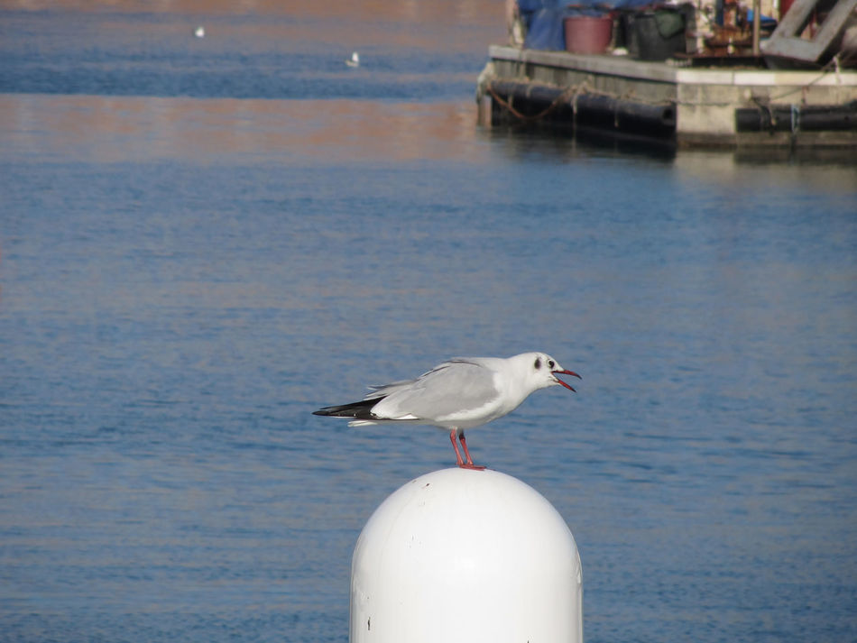 Black-headed gull (Chroicocephalus ridibundus) perched on post calling Animal Argentatus Bay Beak Bird Black-headed Gull Blackheaded Gull Calling Chroicocephalus Ridibundus Gull Harbor Larus Legs Marina Ornithology  Perched Plumage Port Sea Seabird Seagull Standing Waterbird Wild Wings
