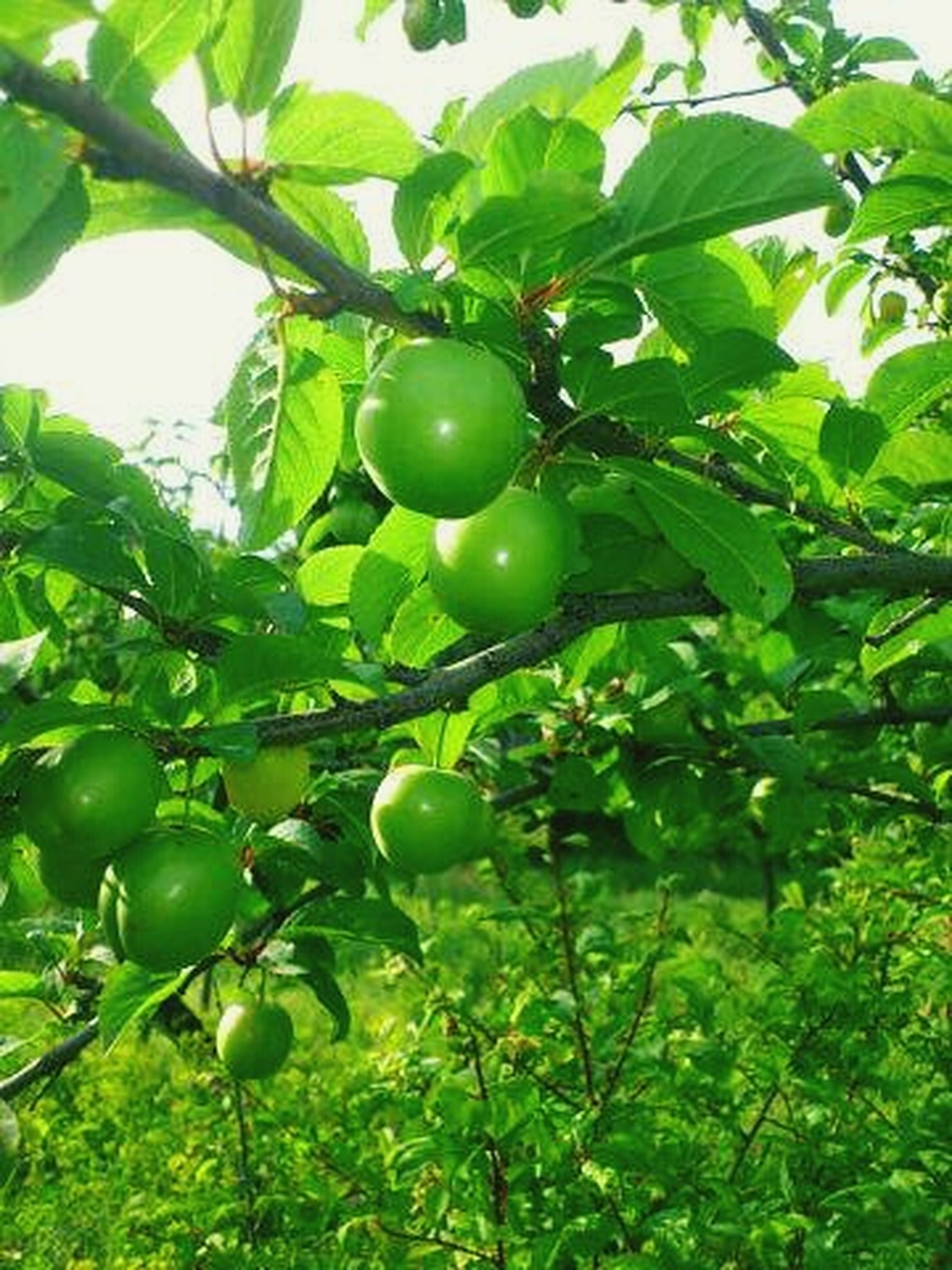 fruit, food and drink, tree, food, healthy eating, growth, freshness, green color, hanging, branch, agriculture, leaf, ripe, low angle view, vineyard, grape, close-up, nature, apple, apple - fruit