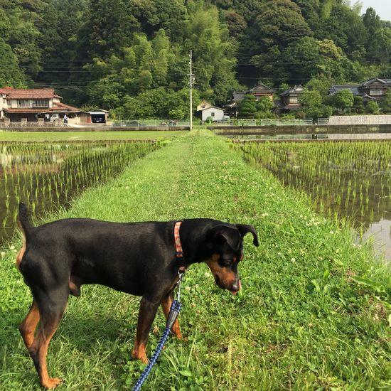 Tokuyama Ricepaddy Dog Landscape