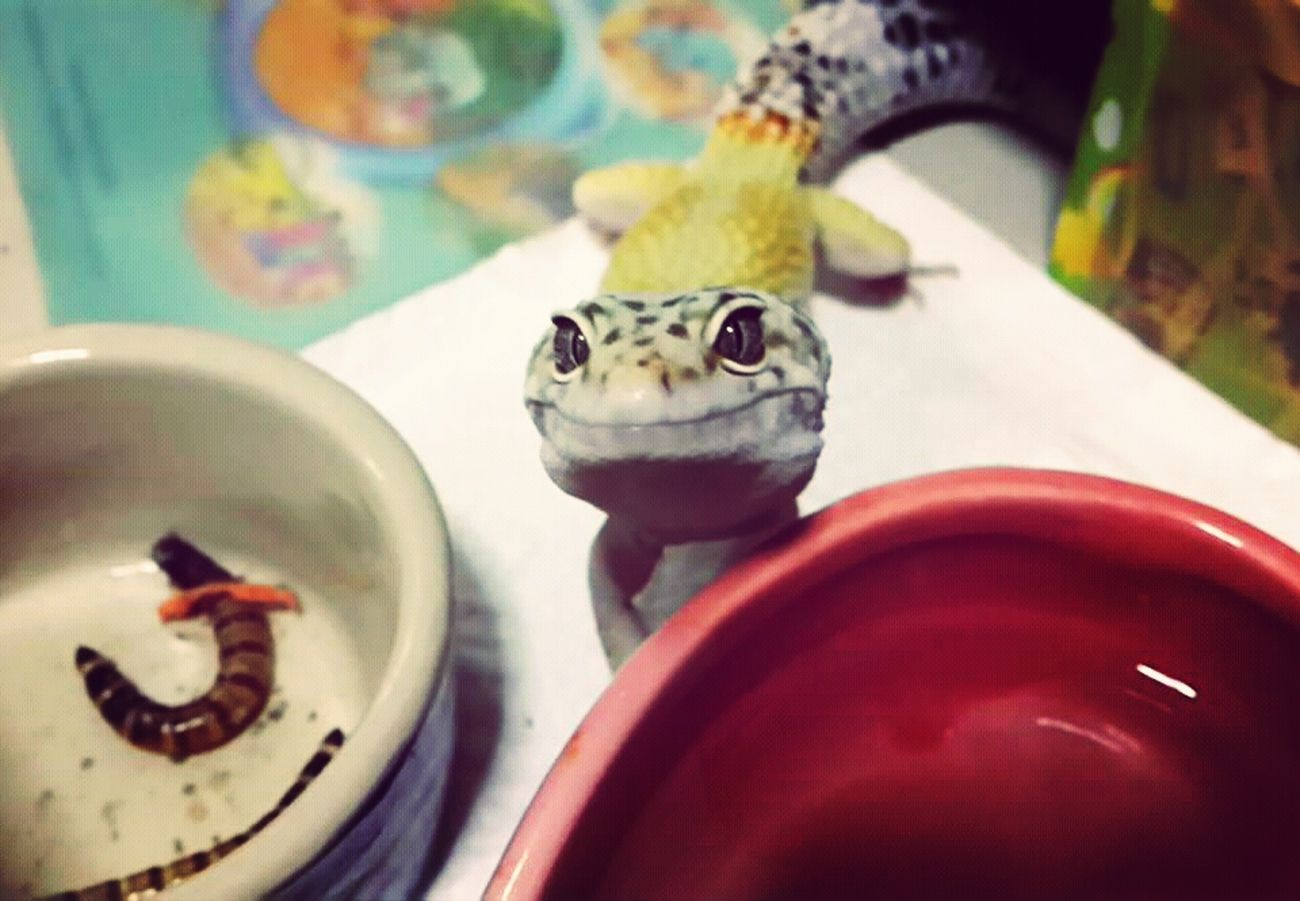 My new baby leopard gecko,Spotty Enjoying Life