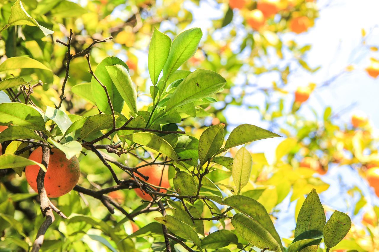 Beauty In Nature Branch Close-up Day Food Freshness Fruit Green Color Growth Leaf Nature No People Outdoors Plant Tree