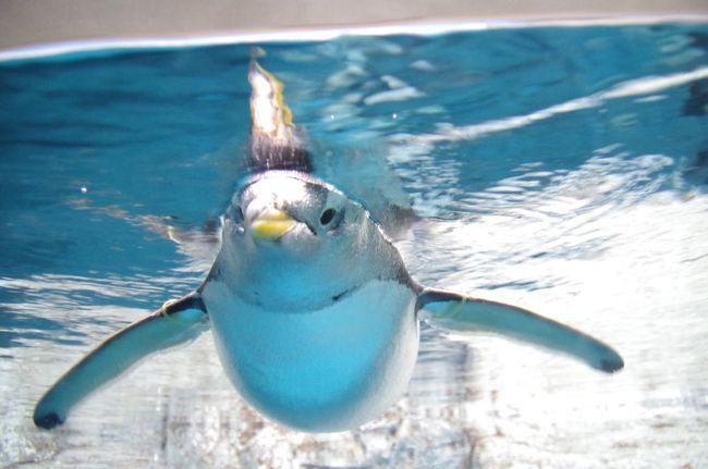 ペンギン Penguin Water Underthesea Underthewater  Animal Waterfront Waterscape Wildlife Bird Animals In The Wild One Animal Sea Animal Themes Nature Blue Zoology Swimming Water Bird Ocean Beauty In Nature