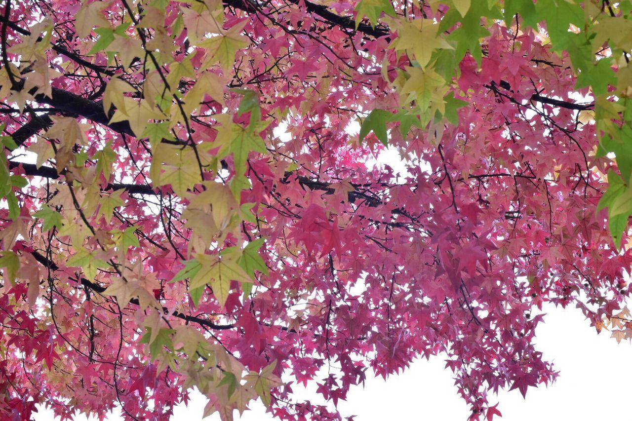 Autumn Pink