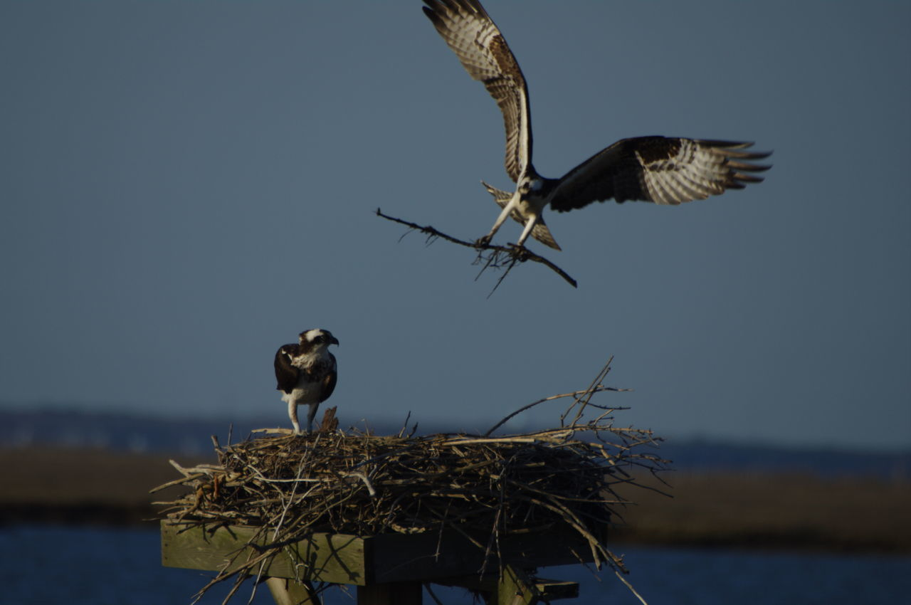 Animal Animal Themes Animal Wildlife Animals In The Wild Bird Bird Flying With Stick Bird Of Prey Blue Sky Branch Day Flying Grasses Landing - Touching Down Nature New Jersey Wetlands No People Osprey Nest  Ospreys Outdoors Spread Wings Stick Sunset Vulture