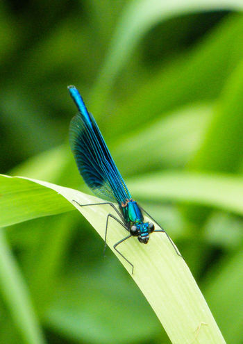 Animal Themes Animal Wildlife Animals In The Wild Banded Demoiselle Beauty In Nature Close-up Damselfly Day Focus On Foreground Green Color Insect Nature No People One Animal Outdoors