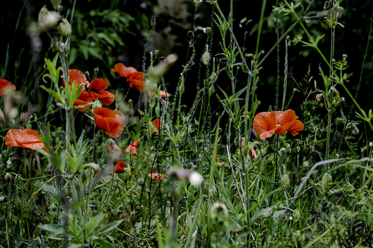 Flower Flower Head Grass Green Color Nature No People Outdoors Plant Poppy Poppy Flowers