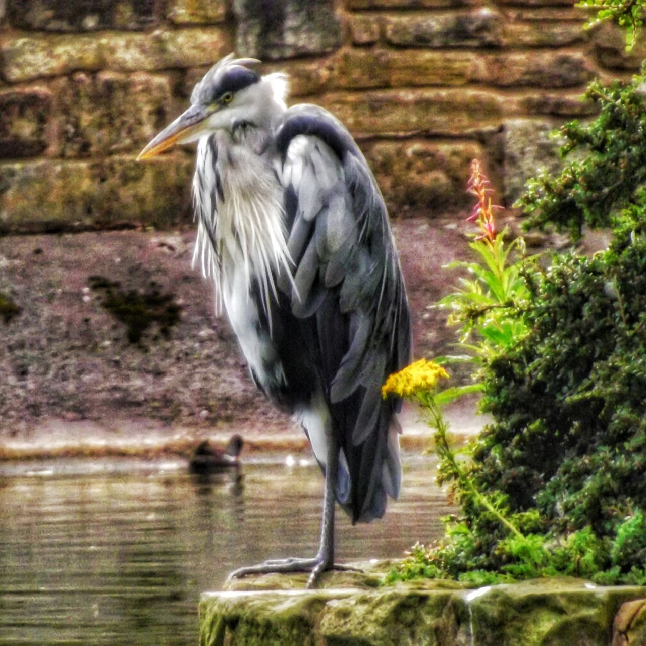 Beautiful Majestic Heron Taken at Oldham Alexandra Park Manchester Heron Perching Heron Birds In The Wild Eyeem Wild Life Malephotographerofthemonth EyeEm Best Shots - HDR Close-up Close Up Photography Close Up Nature EyeEm Masterclass Malephotographerofthemonth Nature_collection Wildlife Photography Fujifilm Birds_collection EyeEm Wildlife Wild Beauty EyeEm Best Shots - Nature Wild Birds Birds Of EyeEm  Eyeemphoto Beauty In Nature Hdr_captures Creative Light And Shadow Color Photography Eyeem Photography Nature And Wildlife By Tony Bayliss