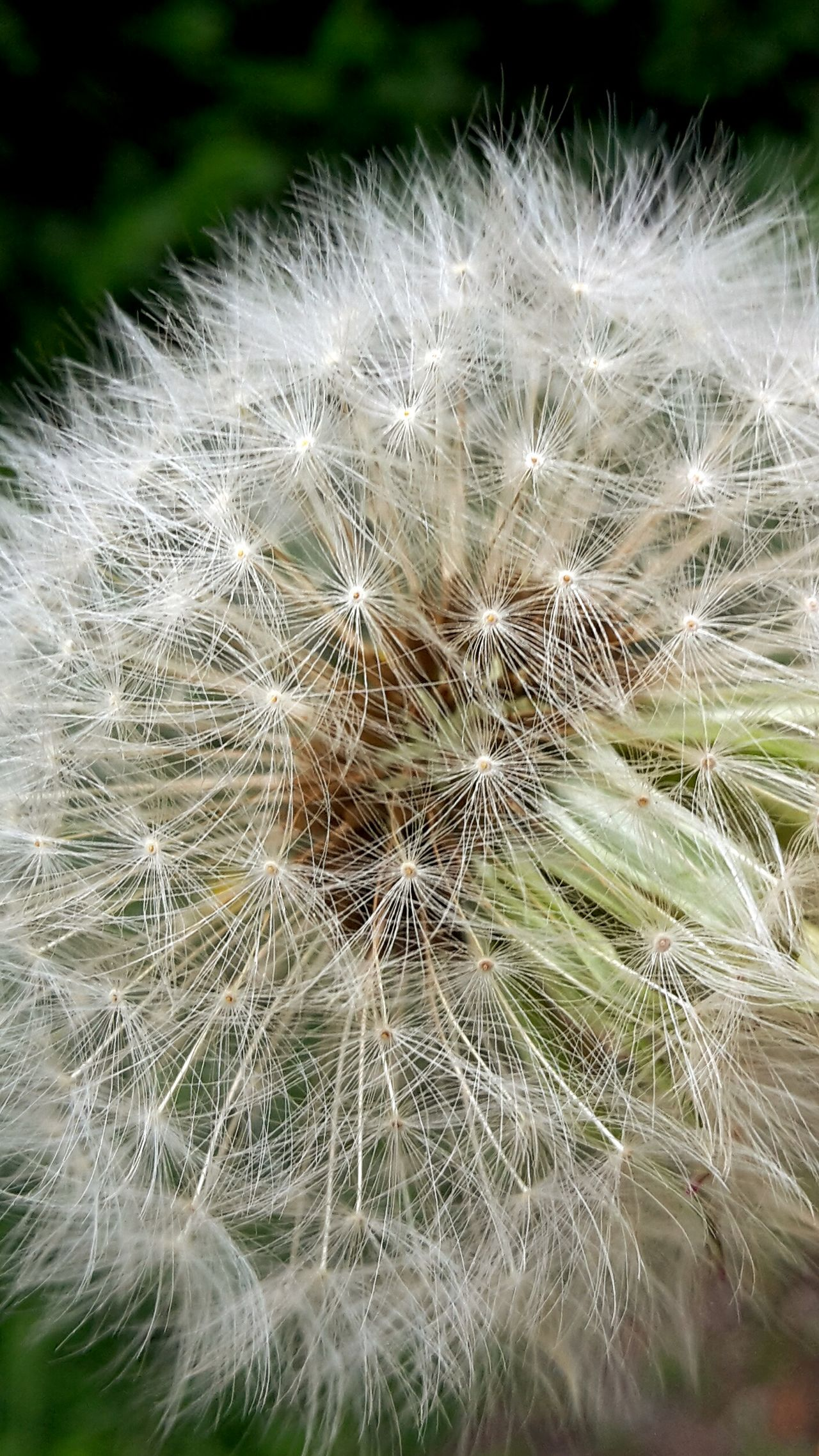 Flower Dandelion Fragility Softness Dandelion Seed Flower Head Nature Freshness Close-up Beauty In Nature Focus On Foreground Uncultivated Growth Seed Plant Springtime Outdoors Day Löwenzahn Pusteblume Frühling Endlich Frühling Zart
