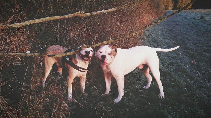 By Leesa Morris Mydogiscoolerthanyourkids Petstagram Photosofrm15 American Bulldog Essex