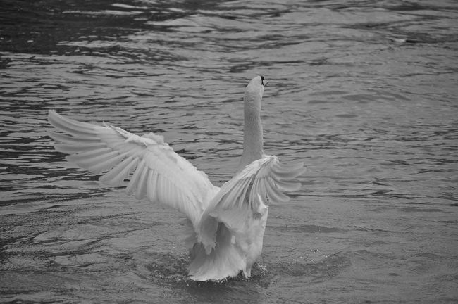 Swan Birds Black And White Photography Blackandwhitephotography Black&white Blackandwhite Photography Black And White Black & White Blackandwhite