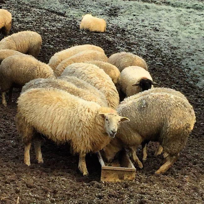 Sheep eating in a field in Northamptonshire Sheep Eating Field Uk United Kingdom Northants Northampton Northamptonshire