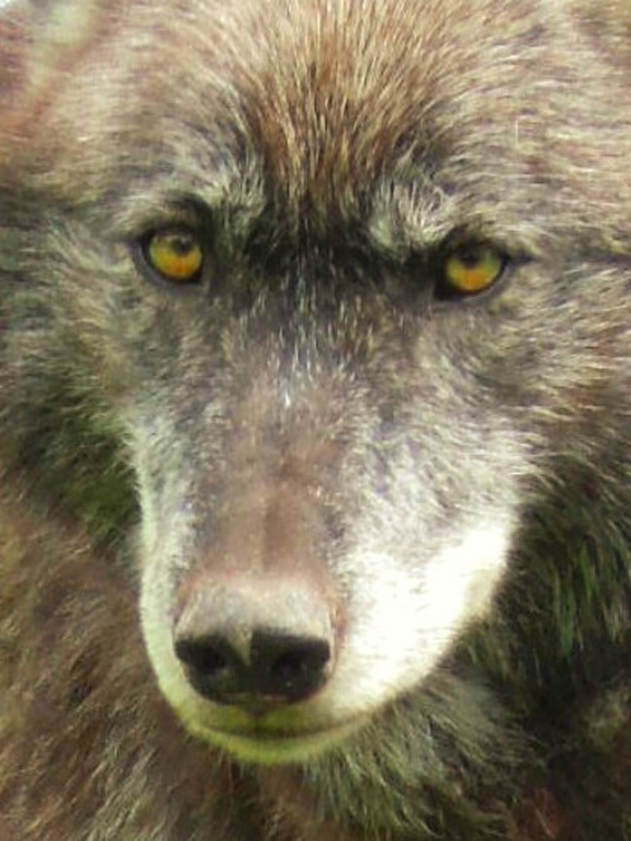 Wolf Fur Close-up Wildlife Alpha Male Animal Themes