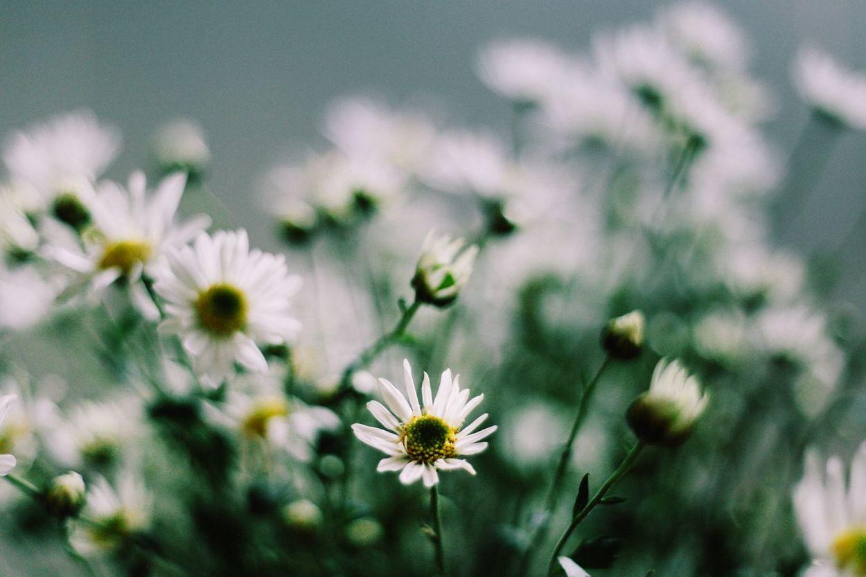 Flower Beauty In Nature DaisyFlowers Daisy Daisy Flower Whiteflowers Springtime Flower Head Spring Flowers Daisy 🌼 Daisydream