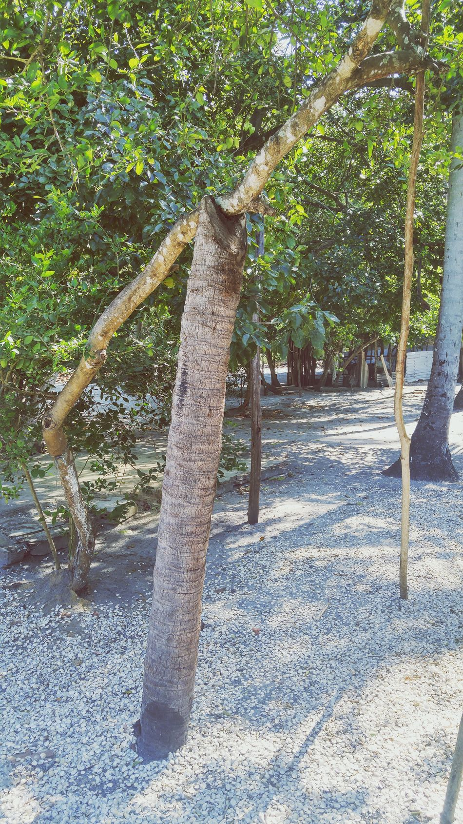 Tree Tree Trunk Growth Plant Green Color Park - Man Made Space Nature Tranquility Tranquil Scene Branch Outdoors Day Growing Solitude Beauty In Nature Park Summer Scenics No People Footpath