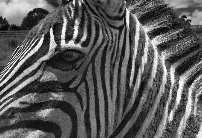 Zebra Iphone 6 Pure Shot Black And White
