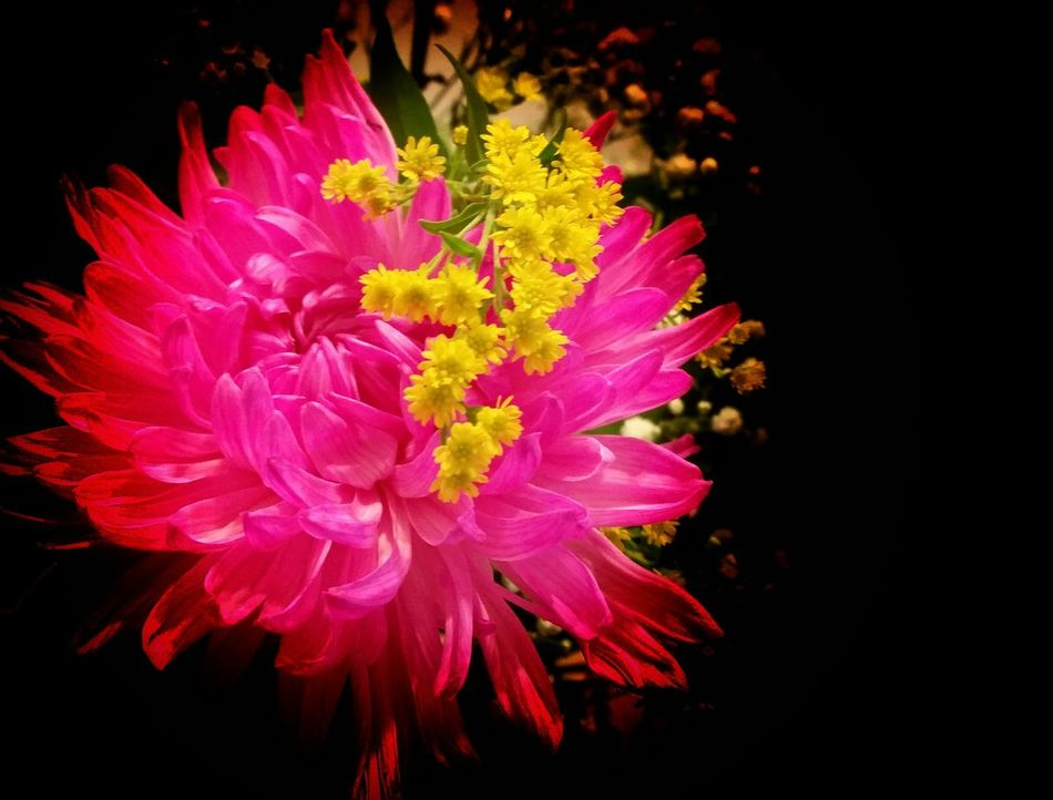 Maximum Closeness Beautifully Organized Surrounded By DarKneSS 💖 Vivid Colours  Flowers Vibrant Color Black Background Blooming Close-up Daliaflower Dhalia PINKY Yellowmagic They All Yellow! Tiny Flowers Evening Mood Autumn🍁🍁🍁 Flowers Make Me Smile!😜!!!