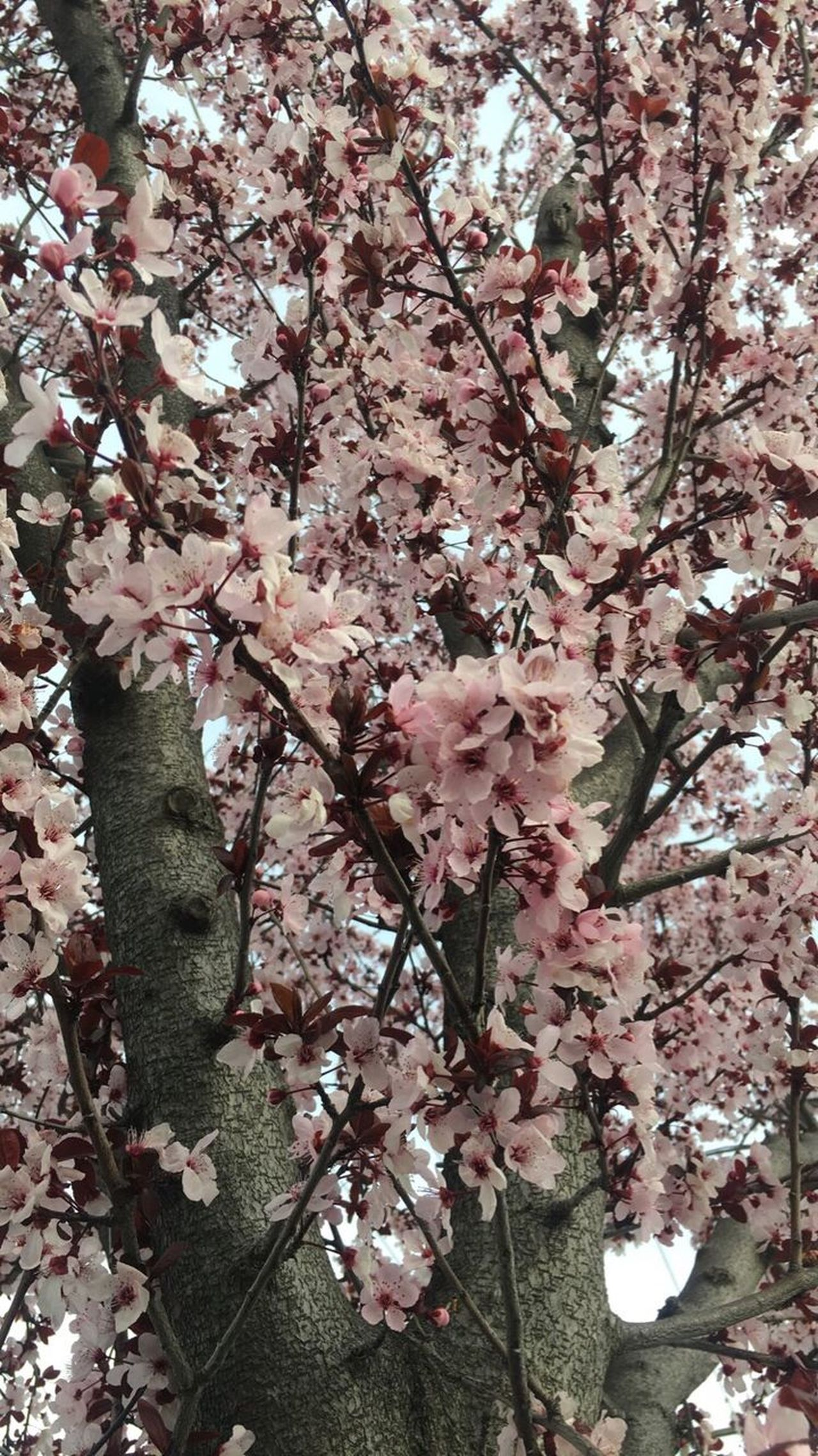 Nature No People Branch Cherry Flowers Beauty In Nature Cherry Blossoms Cherry Blossom Viewing Outdoors Cherry Blossom Nature Photography Pink Flower Pink Color Cherry Blossom Tree Light Pink Pink Flower 🌸 Pink Cherry Flower Flower Nature (null) Tree Low Angle View Springtime Millennial Pink The Great Outdoors - 2017 EyeEm Awards