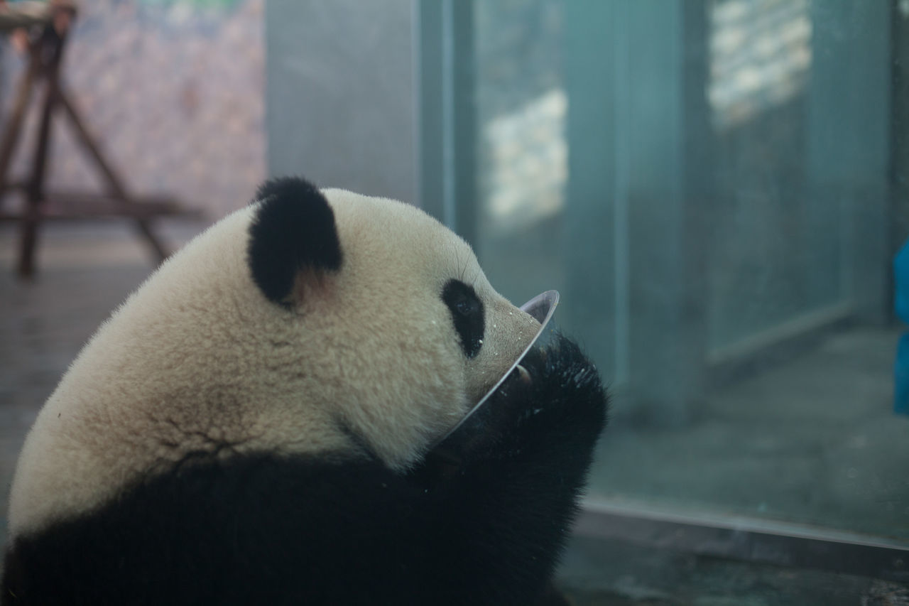Beautiful stock photos of panda, Animal Head, Animal Themes, Animals In The Wild, Day