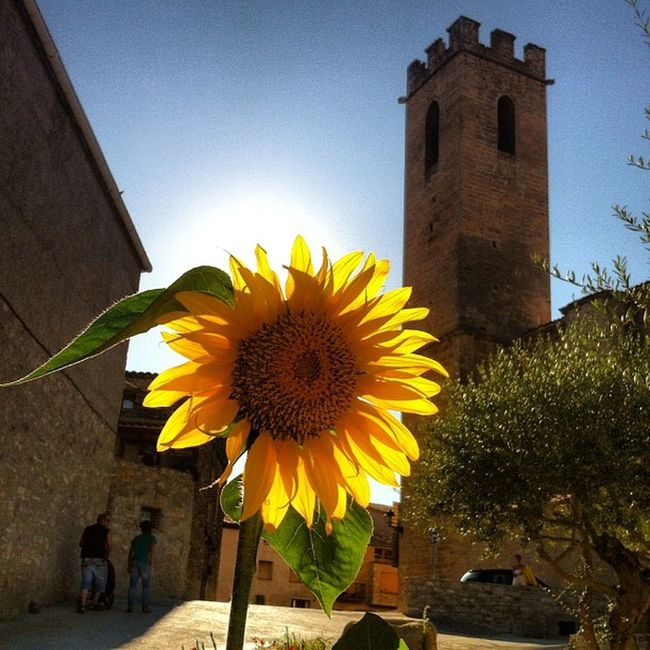 #girasol a #contrallum a #conesa #pobles ##catalunya Catalunya Girasol Contrallum Conesa Pobles