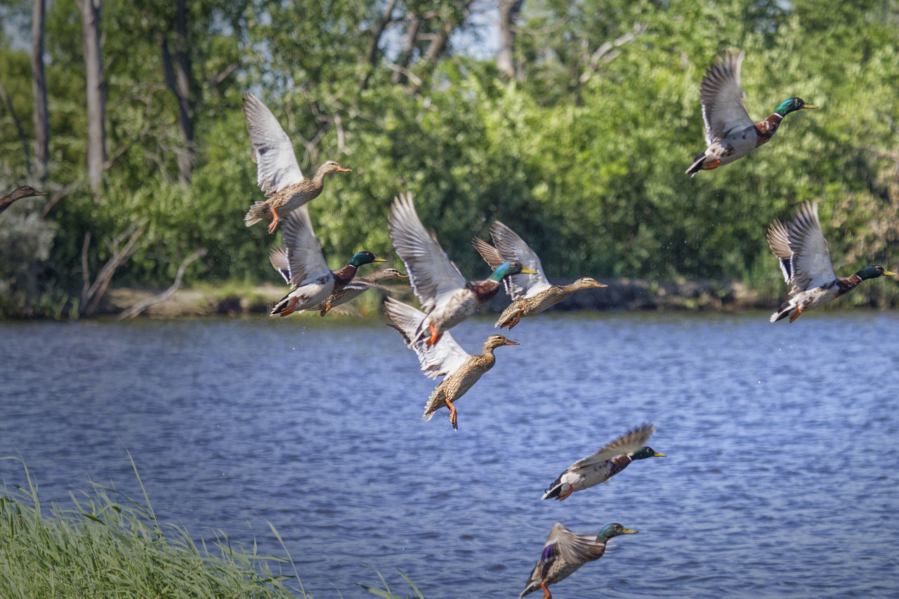 Mallard Ducks Flying Over Lake Against Trees