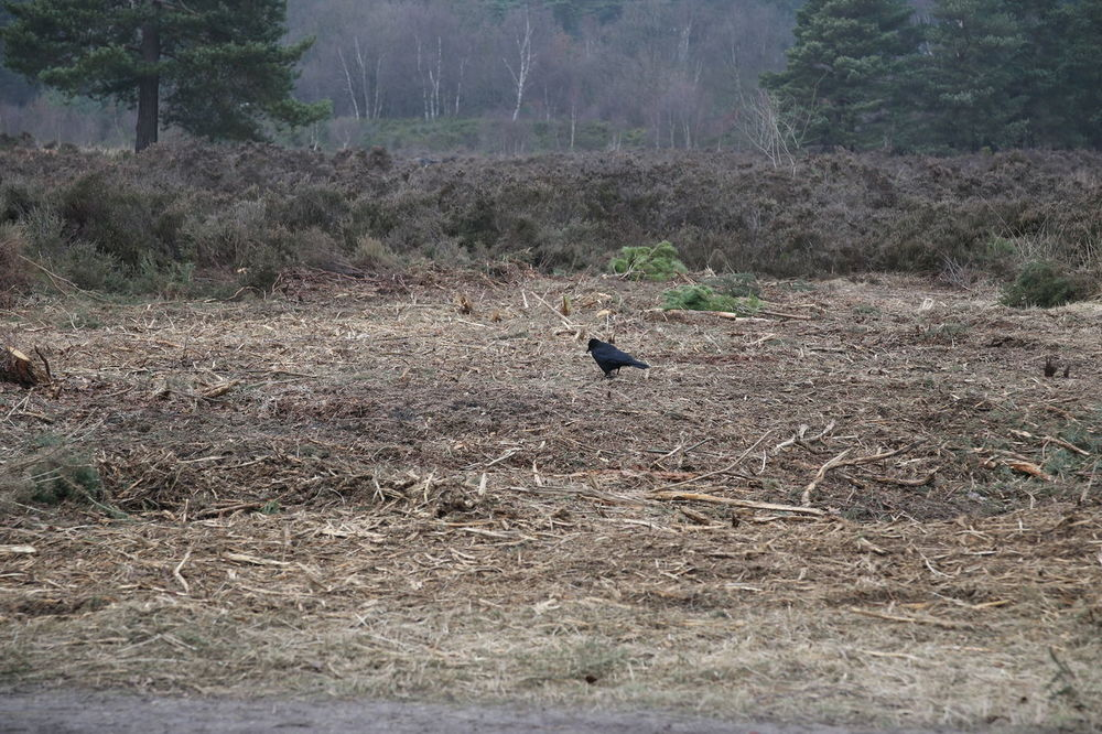 Bare Land Barren Bird Crow Dead Plants Heath Heather Surrey Heath Trees Wildlife