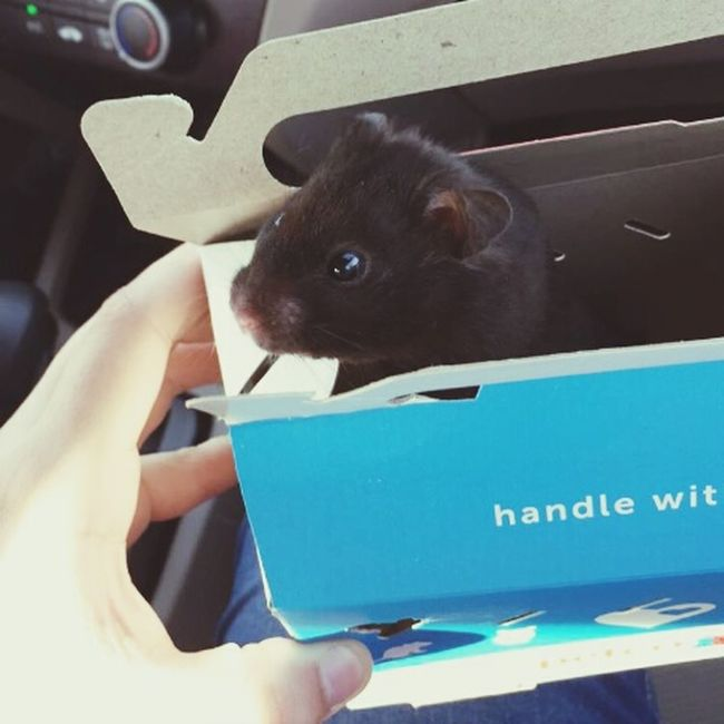 Newest member of the family! 😄 Say hello to Eli ❤ Hello World Hamster ♡ Animals Of Eyeem Check This Out Taking Photos Adorable TooCute Spoiled Followme LoveHimAlready