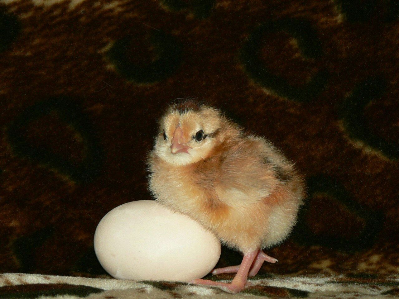 Цыплята дети яйцо