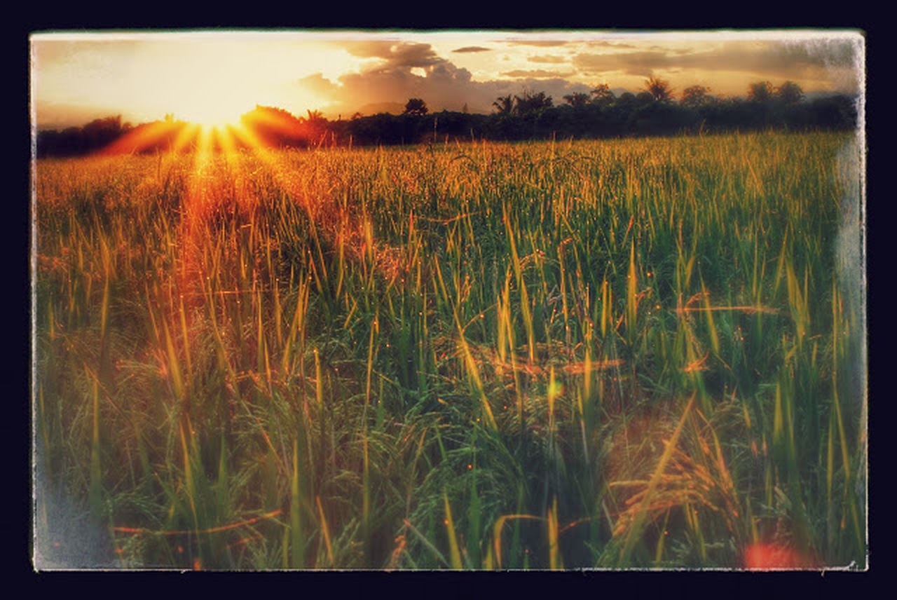 sunset, field, nature, landscape, growth, grass, agriculture, tranquility, plant, wheat, sun, sunlight, summer, scenics, outdoors, rural scene, beauty in nature, sky, no people, day