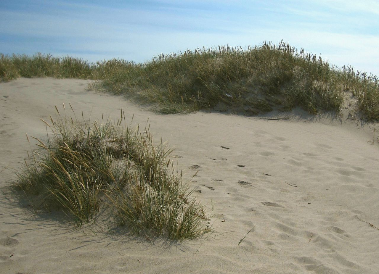 Sand Nature Beach Sand Dune Growth Sunlight Outdoors Day No People Marram Grass Beauty In Nature Nature Sand Dunes Sand And Grass Grassy Grass And Sky Grass, Sand And Sky Sand And Sky Sand And Plants EyeEmNewHere Calm Breeze Hvide Sande Denmark Danmark Danmark Beauty Place