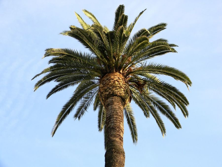 Beauty In Nature Blue Canopy Of Palm Green Growth Nature Outdoors Palm Palm Canopy Palm Leaf Palm Tree Palm Tree Sky Sky And Palm Tree Summer Tall - High Tree Tree
