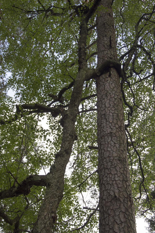 trees friendship Assist Wald Beauty In Nature Forest Freundschaft Friendship Help Trees Two Friends Two Trees Unterstützung Zwei Freunde Hug Hug A Tree Hugging A Tree Hugging Trees