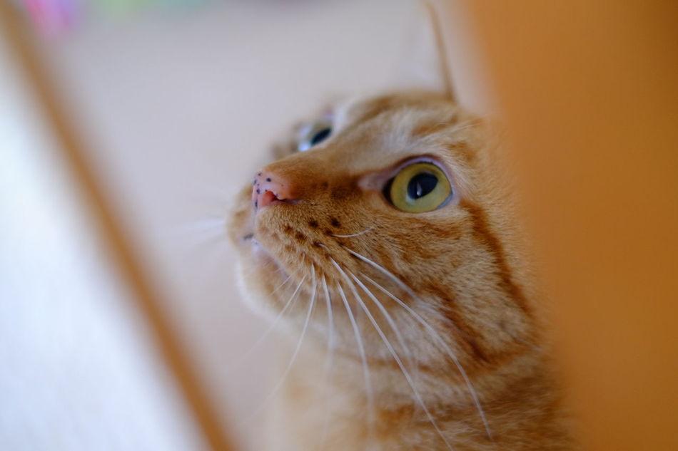 Beautiful stock photos of kitty, Animal Themes, Cat, Close-Up, Domestic Animals