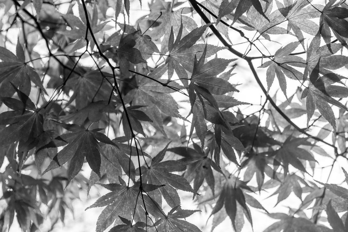 Winkworth Arboretum, a National Trust owned arboretum in Surrey, near Godalming. 4th November 2015. Arboretum Autumn Autumn 2015 Autumn🍁🍁🍁 Black & White Black And White Blackandwhite Fall Fall Beauty Leaves Mono Monochrome Nature Surrey Trees Winkworth Winkworth Arboretum